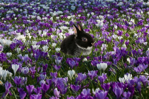 Baby Rabbit「Easter bunny in a field of Spring Crocuses」:スマホ壁紙(4)