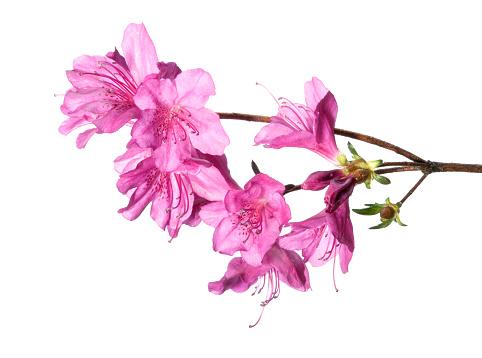 Azalea「Purple azalea」:スマホ壁紙(11)
