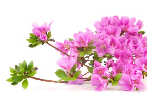 Azalea「Purple Azalea」:スマホ壁紙(13)