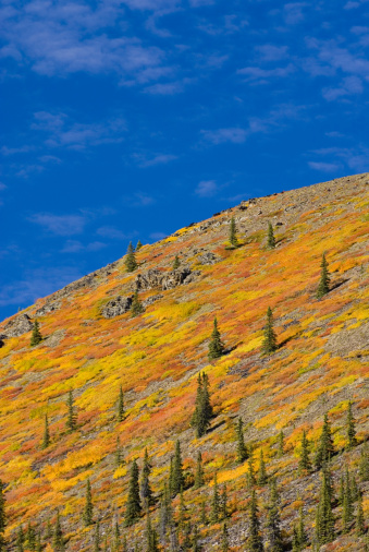Boreal Forest「Slopes of the north Ogilvie Mountains displaying vibrant autumn foliage, Yukon, Canada」:スマホ壁紙(16)