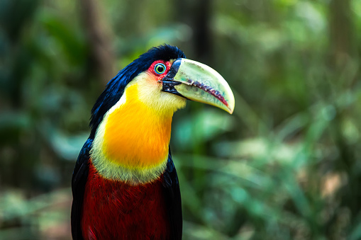 Amazon Rainforest「Exotic Tucano in the nature」:スマホ壁紙(15)