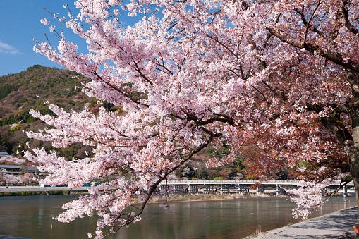 桜「Togetsukyo Brige and Hozu River in Spring」:スマホ壁紙(6)