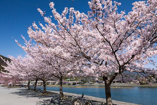 桜「Togetsukyo Brige and Hozu River in Spring」:スマホ壁紙(13)