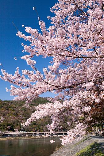 桜「Togetsukyo Brige and Hozu River in Spring」:スマホ壁紙(16)