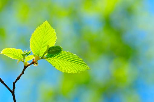 International Biosphere Reserves「New Beech Leaves」:スマホ壁紙(15)