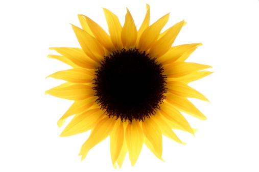 ひまわり「Single Sunflower」:スマホ壁紙(11)