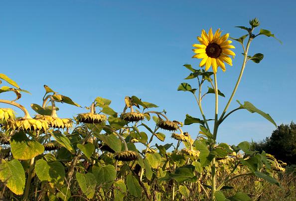 Nouvelle-Aquitaine「Sunflowers Face The Sun」:写真・画像(2)[壁紙.com]