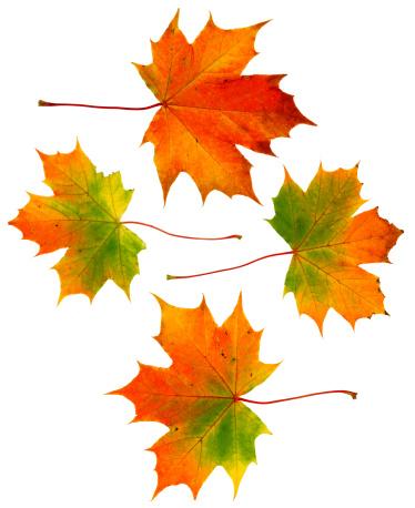 セイヨウカジカエデ「4 つの広々とした秋の葉」:スマホ壁紙(4)