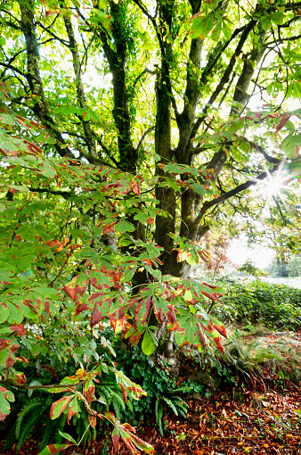 Fagaceae「Chestnut tree in autumn in the morning sun; Surrey, British Columbia, Canada」:スマホ壁紙(19)