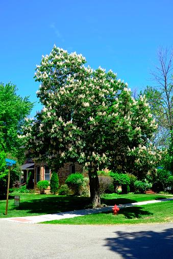 Chestnut Tree「Chestnut tree in full flower bloom in springtime」:スマホ壁紙(7)