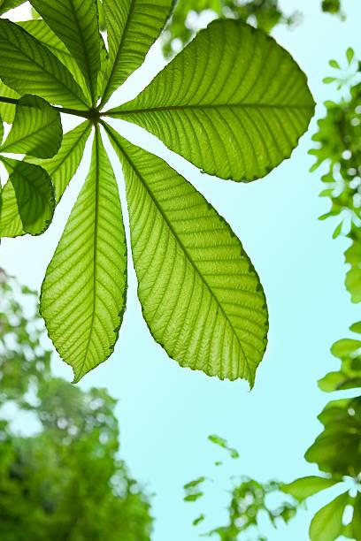 Chestnut tree leaf background:スマホ壁紙(壁紙.com)