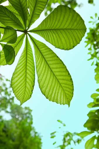 chestnut「Chestnut tree leaf background」:スマホ壁紙(17)