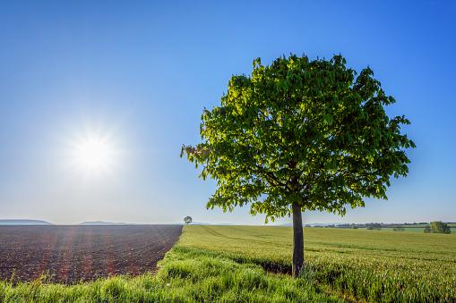 Chestnut「Chestnut tree in countryside with sun, Spring, Bavaria, Germany」:スマホ壁紙(7)