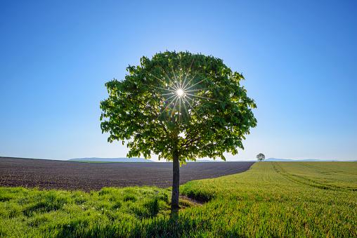 Chestnut「Chestnut tree in countryside with sun, Spring, Bavaria, Germany」:スマホ壁紙(8)