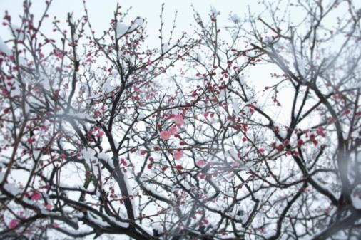 梅の花「Japan, Tokyo, Shinjuku, Ume (Prunus mume) covered with snow, low angle view」:スマホ壁紙(11)