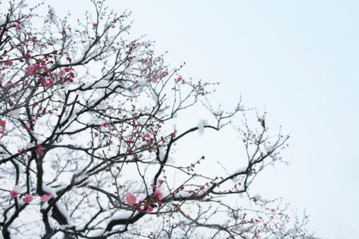 梅の花「Japan, Tokyo, Shinjuku, Ume (Prunus mume) covered with snow, low angle view」:スマホ壁紙(7)