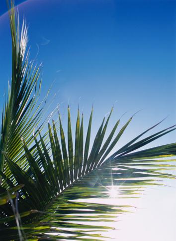 Frond「Sun Through Palm Fronds」:スマホ壁紙(12)