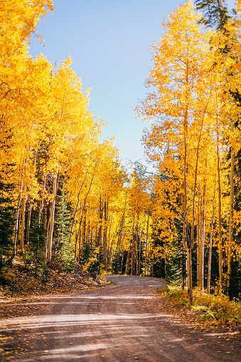 Aspen Tree「Driving on a Dirt Packed Off Road Through the Tall Aspen Trees in the Grand Mesa National Forest during Fall Autumn Colors Season Changing in Beautiful Colorado」:スマホ壁紙(15)