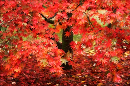 Japanese Maple「Red Acer Tree」:スマホ壁紙(3)