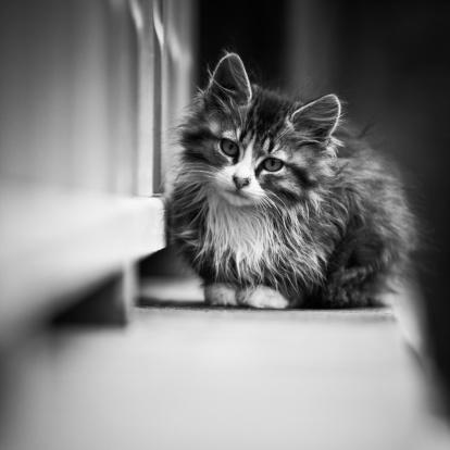 Mixed-Breed Cat「Kitten」:スマホ壁紙(5)