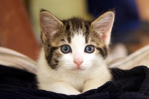Mixed-Breed Cat「Kitten」:スマホ壁紙(3)