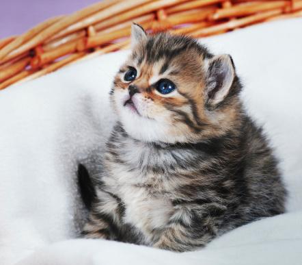 Mixed-Breed Cat「kitten」:スマホ壁紙(18)