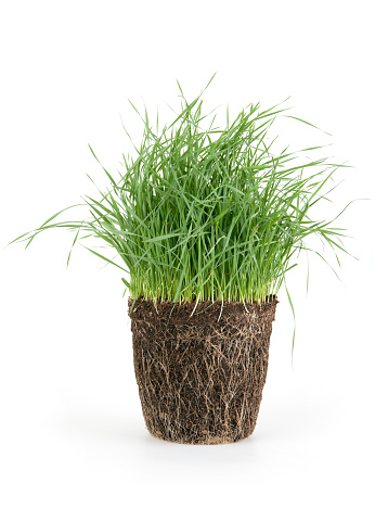 Wheatgrass「grass」:スマホ壁紙(19)
