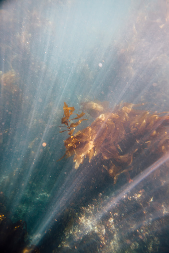 USA「image of kelp forest at Santa Cruz Island in the Channel Islands National Park.」:スマホ壁紙(6)