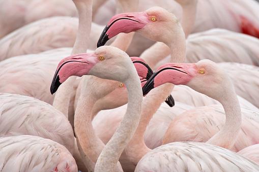 Animals In The Wild「Flamingos」:スマホ壁紙(15)