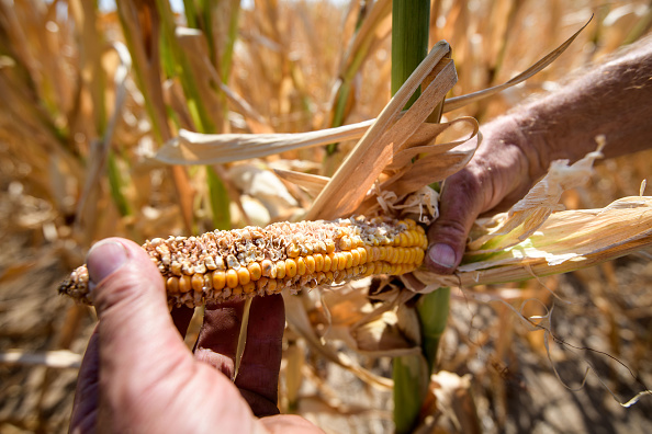 Cereal Plant「Heat Wave Continues Over Germany」:写真・画像(6)[壁紙.com]