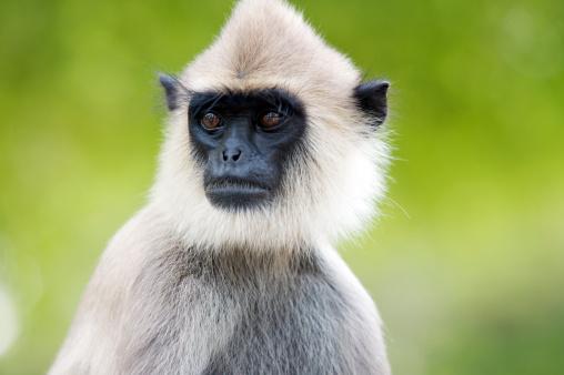 Arboreal Animal「The Grey Langur monkey in the Kataragama temple.」:スマホ壁紙(16)