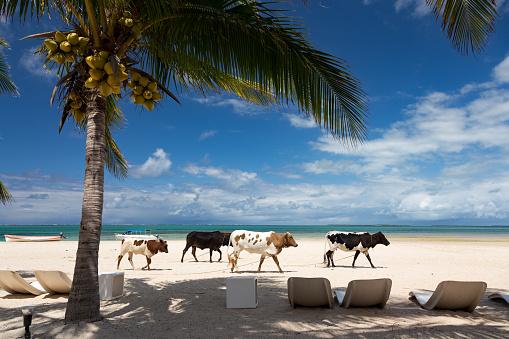 Mauritius「Cattle on a beach, Rodrigues」:スマホ壁紙(11)