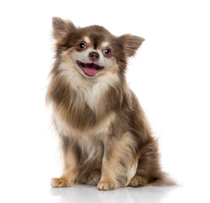 Chihuahua - Dog「Happy Chihuahua (5 years old)」:スマホ壁紙(15)