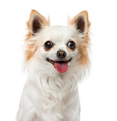 朗らか「Happy Chihuahua」:スマホ壁紙(8)