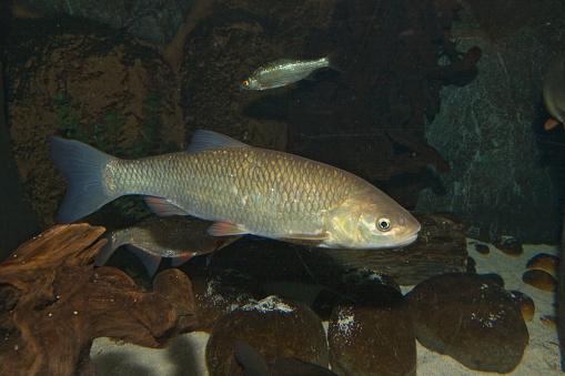 Carp「Chub (Leuciscus cephalus), Bavaria, Germany」:スマホ壁紙(8)