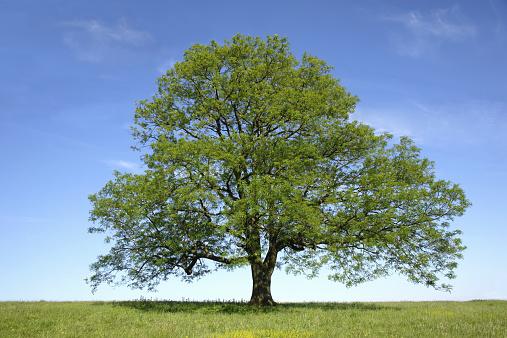 Continuity「Ash (Fraxinus sp.) tree in field, spring」:スマホ壁紙(12)