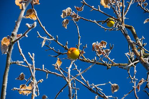 Apple「Single apple on apple tree in autumn with rime, Hesse, Germany」:スマホ壁紙(8)