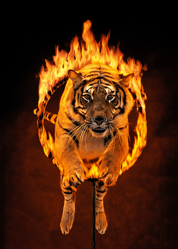 Plastic Hoop「Bengal tiger jumping through burning hoop (Digital Composite)」:スマホ壁紙(11)