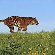 Tiger壁紙の画像(壁紙.com)