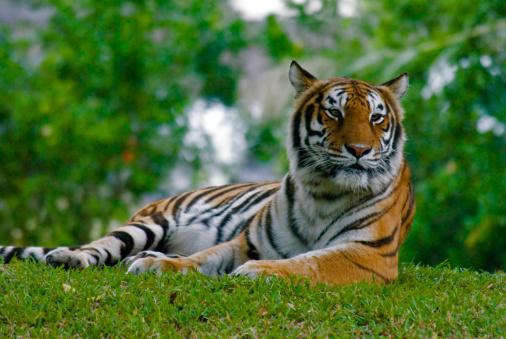 Tiger「Bengal Tiger laying on the grass, Miami Metro Zoo.」:スマホ壁紙(8)