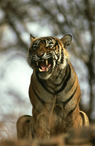 Tiger「bengal tiger, panthera tigris, male snarling, ranthambhore, india」:スマホ壁紙(18)