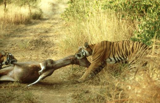 Tiger「Bengal Tiger, Panthera tigris, two adults dragging sambar deer kill, Ranthambhore National Park, Rajasthan, India」:スマホ壁紙(17)