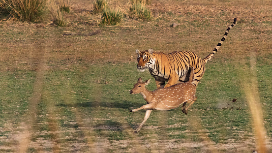 Animals Hunting「Bengal Tiger in Rajasthan, India, chasing a Chital Deer.」:スマホ壁紙(0)