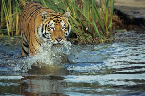 Walking「Bengal tiger (Panthera tigris tigris) wading in water, India, Nepal」:スマホ壁紙(18)