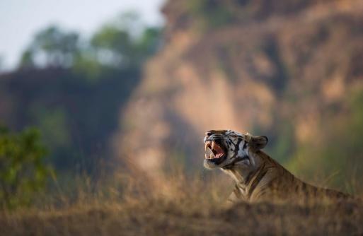 Furious「Bengal tiger」:スマホ壁紙(4)