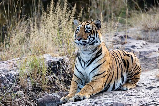 Ranthambore National Park「Bengal Tiger Alert to the Presence of Prey」:スマホ壁紙(13)