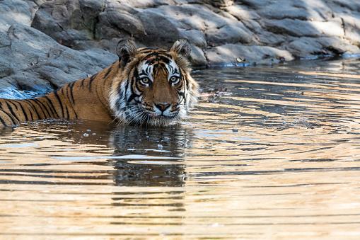 Rajasthan「Bengal tiger bathing in pool」:スマホ壁紙(15)