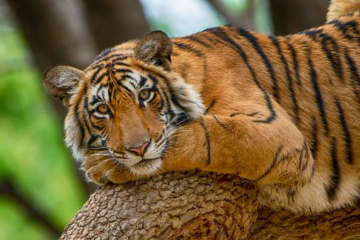 Ranthambore National Park「Bengal tiger (Panthera tigris tigris) on a tree, wildlife shot」:スマホ壁紙(8)