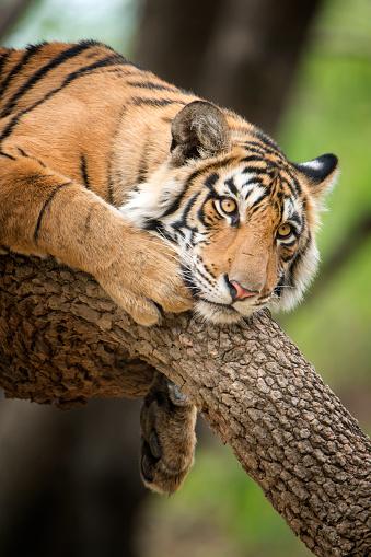 Ranthambore National Park「Bengal tiger (Panthera tigris tigris) on a tree, wildlife shot」:スマホ壁紙(9)