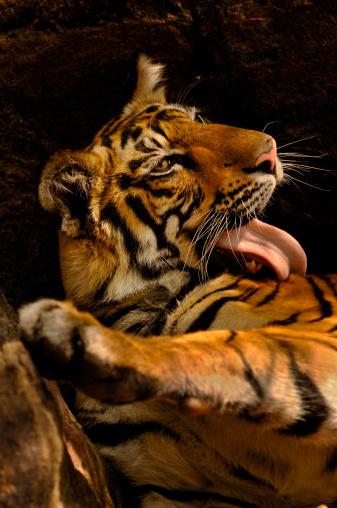Grooming - Animal Behavior「Bengal tiger cub (Panthera tigris tigris), (11 months), grooming」:スマホ壁紙(18)